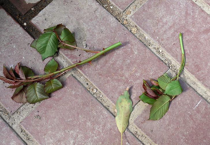 マーガレット・メリル(木立バラ)の新芽バラクキバチにやられた。2018年-8.jpg
