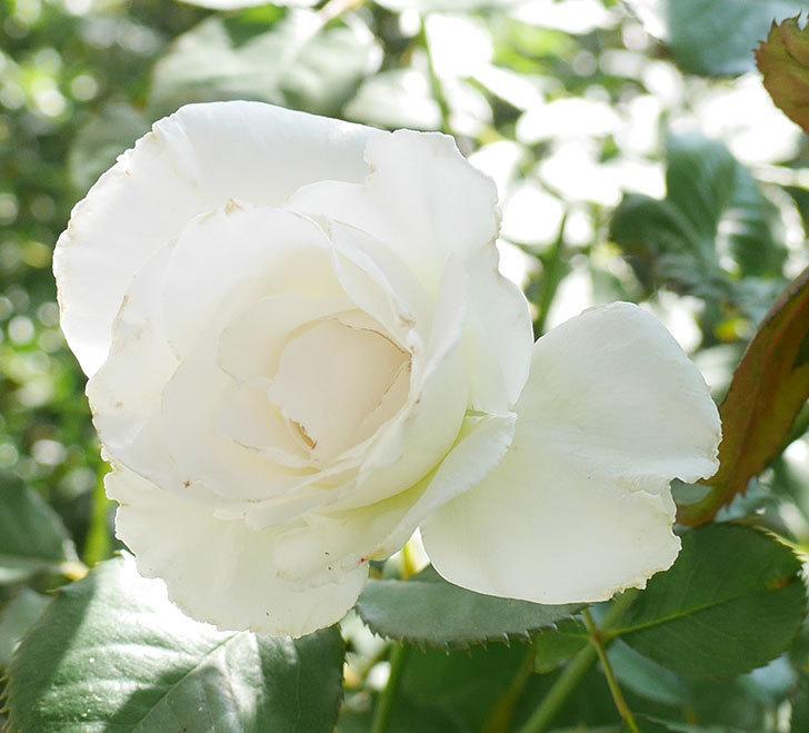 マーガレット・メリル(木立バラ)の秋花が咲いた。2017年-2.jpg