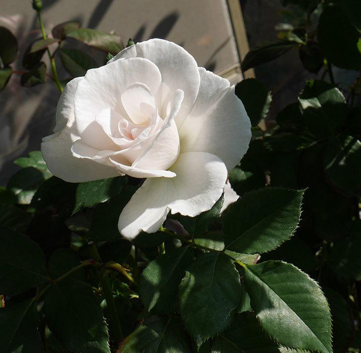 マーガレット・メリル(木立バラ)の秋花が咲いた。2018年-1.jpg