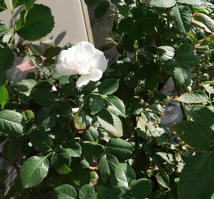 マーガレット・メリル(木立バラ)の秋花が咲いた。2018年-3.jpg