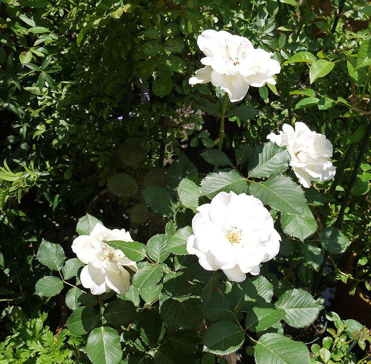 マーガレット・メリル(木立バラ)の花が4個咲いた。2016年-1.jpg
