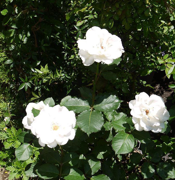 マーガレット・メリル(木立バラ)の花が4個咲いた。2016年-2.jpg