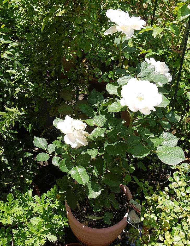 マーガレット・メリル(木立バラ)の花が4個咲いた。2016年-3.jpg