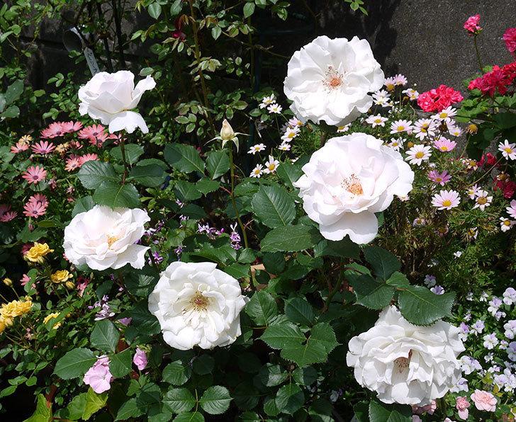 マーガレット・メリル(木立バラ)の花がたくさん咲いた。2017年-1.jpg