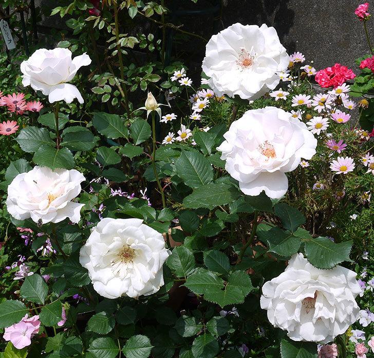 マーガレット・メリル(木立バラ)の花がたくさん咲いた。2017年-2.jpg