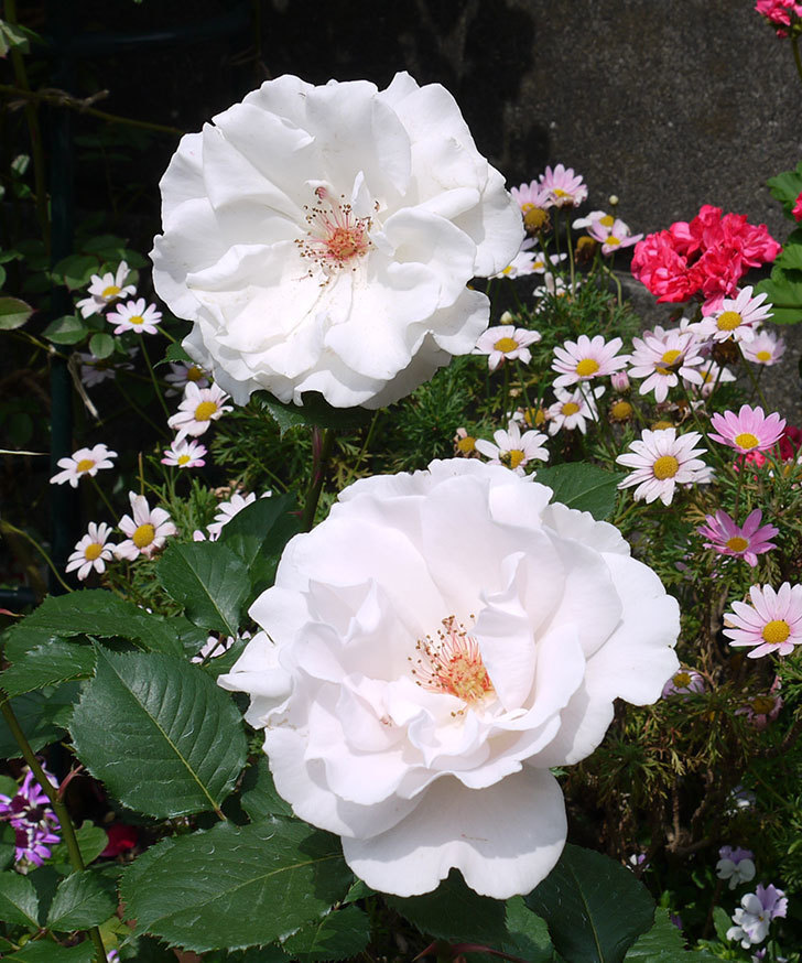 マーガレット・メリル(木立バラ)の花がたくさん咲いた。2017年-3.jpg