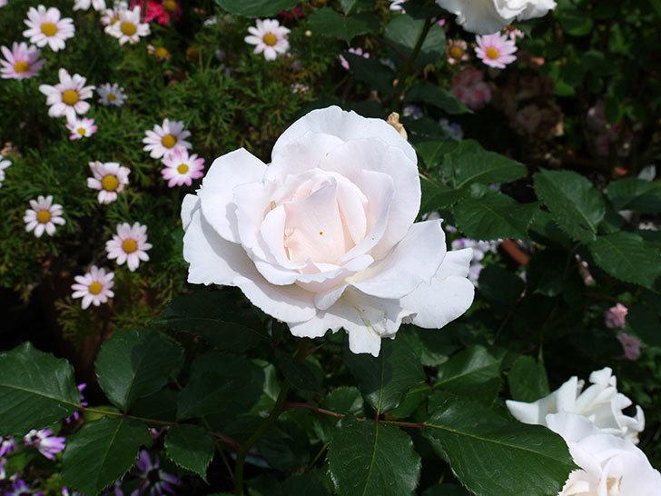 マーガレット・メリル(木立バラ)の花がたくさん咲いた。2017年-4.jpg