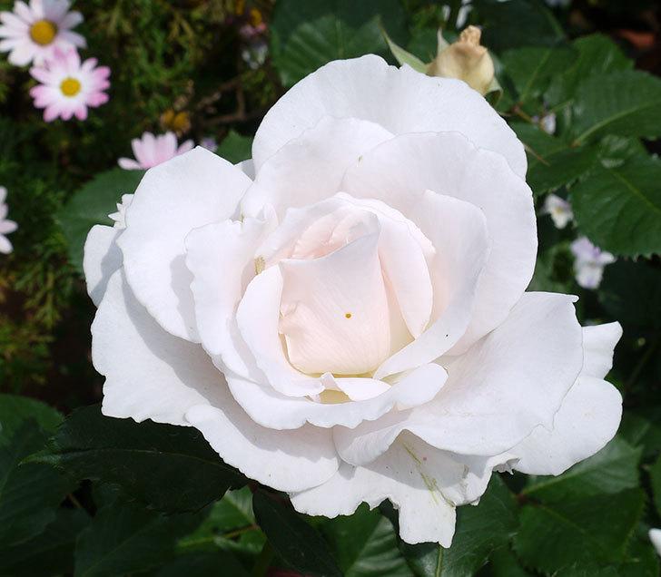 マーガレット・メリル(木立バラ)の花がたくさん咲いた。2017年-5.jpg