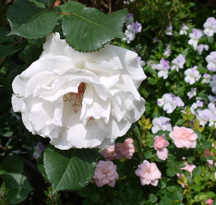 マーガレット・メリル(木立バラ)の花がたくさん咲いた。2017年-6.jpg