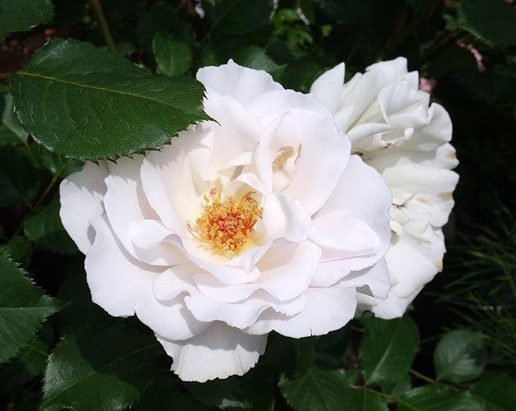 マーガレット・メリル(木立バラ)の花がたくさん咲いた。2017年-8.jpg