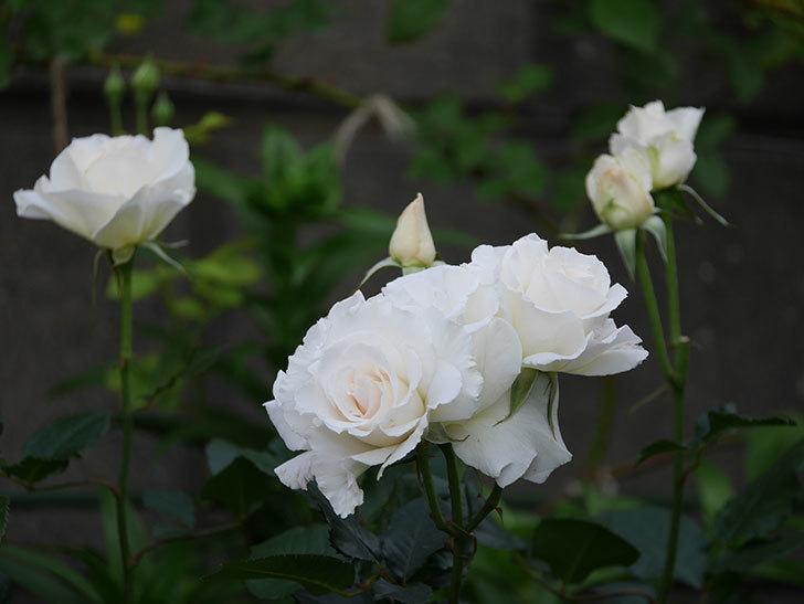 マーガレット・メリル(木立バラ)の花がたくさん咲いた。2020年-1.jpg