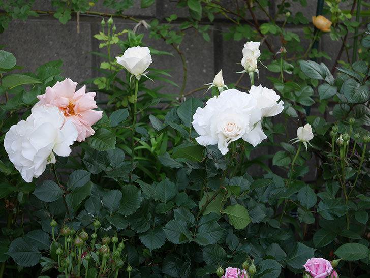 マーガレット・メリル(木立バラ)の花がたくさん咲いた。2020年-10.jpg