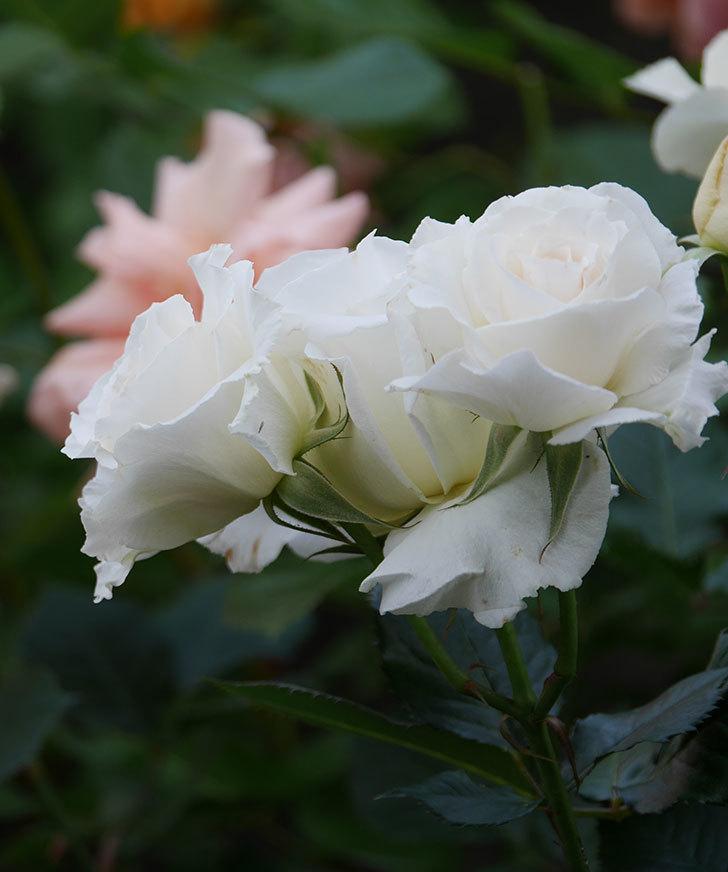 マーガレット・メリル(木立バラ)の花がたくさん咲いた。2020年-3.jpg