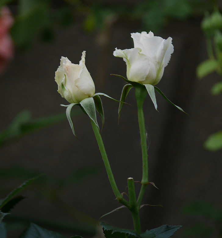 マーガレット・メリル(木立バラ)の花がたくさん咲いた。2020年-4.jpg