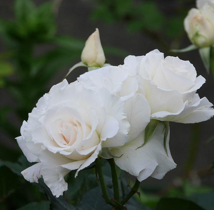マーガレット・メリル(木立バラ)の花がたくさん咲いた。2020年-5.jpg