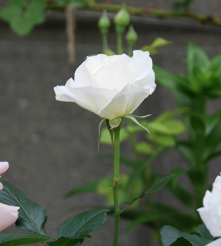 マーガレット・メリル(木立バラ)の花がたくさん咲いた。2020年-6.jpg