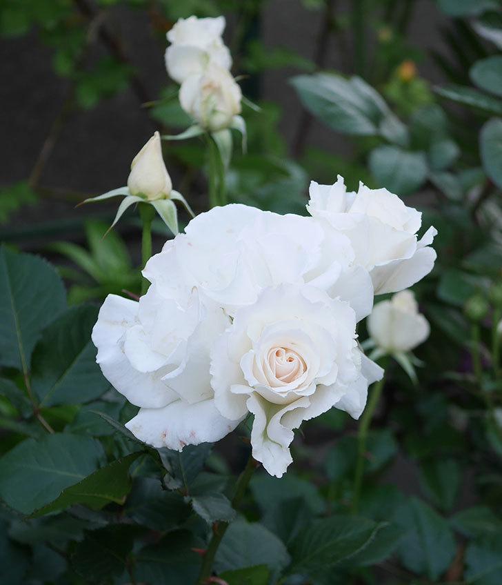 マーガレット・メリル(木立バラ)の花がたくさん咲いた。2020年-7.jpg