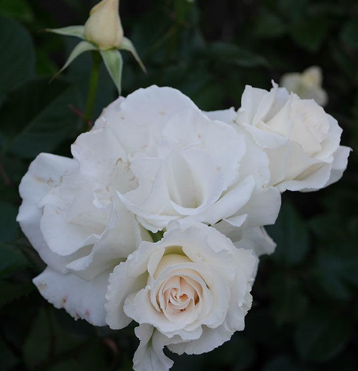 マーガレット・メリル(木立バラ)の花がたくさん咲いた。2020年-8.jpg