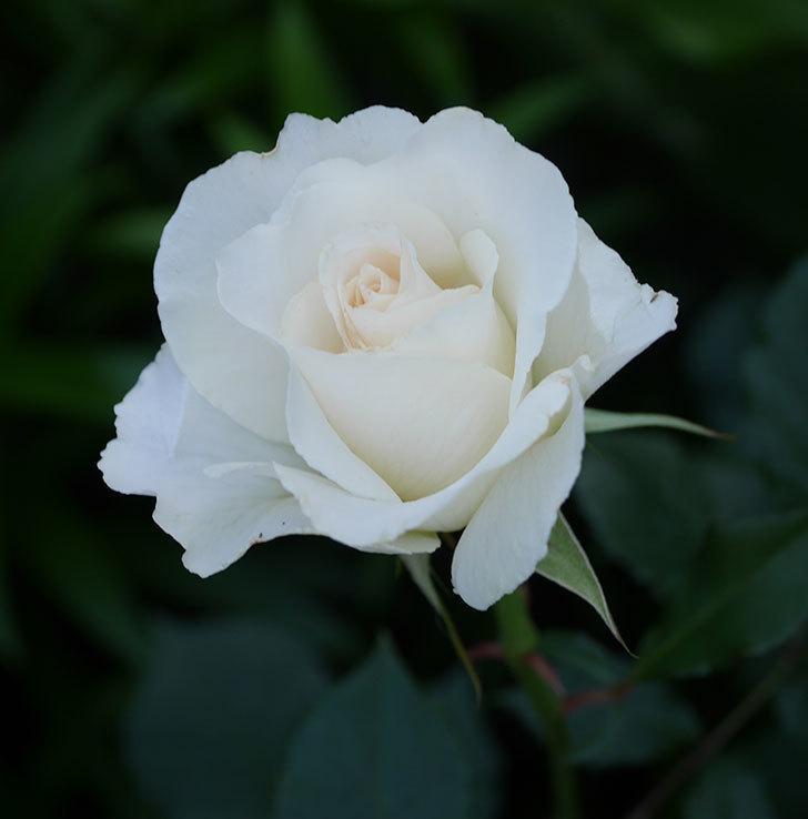 マーガレット・メリル(木立バラ)の花がたくさん咲いた。2020年-9.jpg
