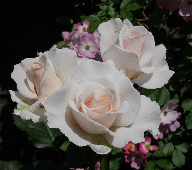 マーガレット・メリル(木立バラ)の花がまた咲いた。2019年-1.jpg