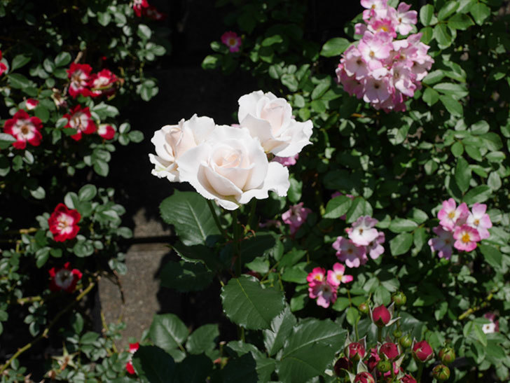 マーガレット・メリル(木立バラ)の花がまた咲いた。2019年-2.jpg