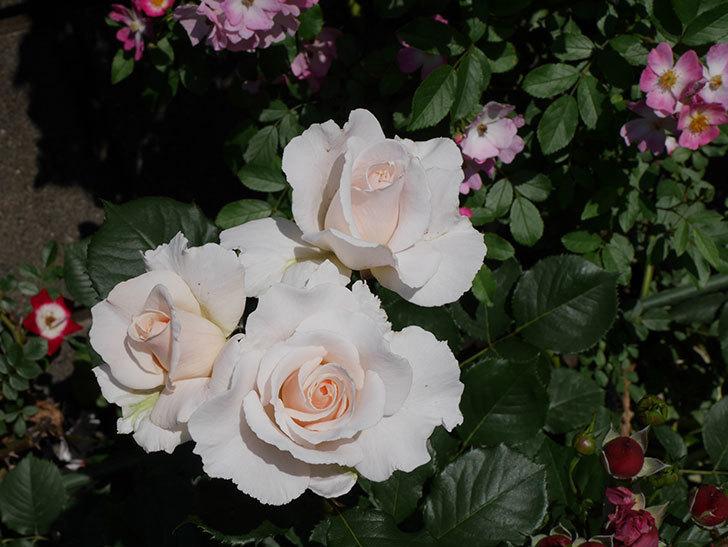 マーガレット・メリル(木立バラ)の花がまた咲いた。2019年-3.jpg
