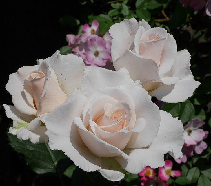 マーガレット・メリル(木立バラ)の花がまた咲いた。2019年-4.jpg