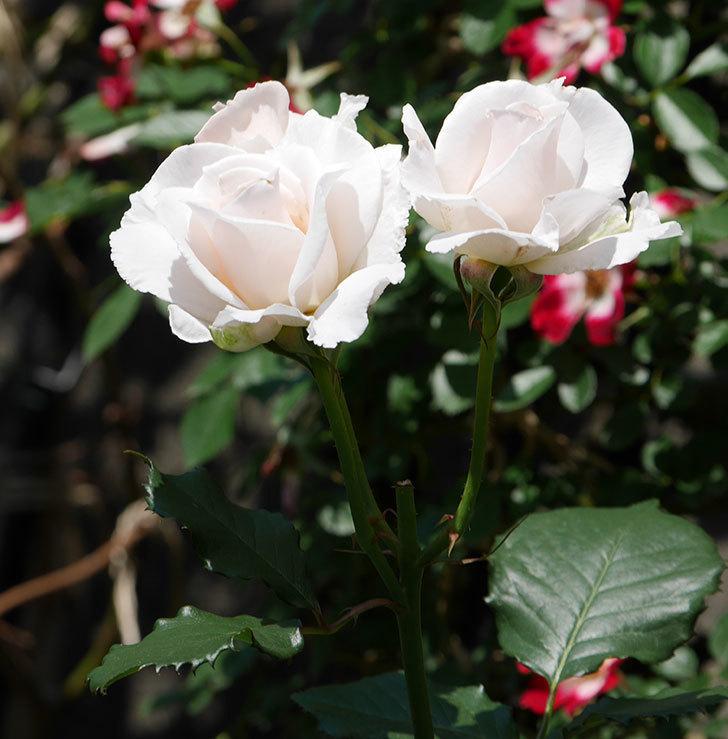マーガレット・メリル(木立バラ)の花がまた咲いた。2019年-5.jpg
