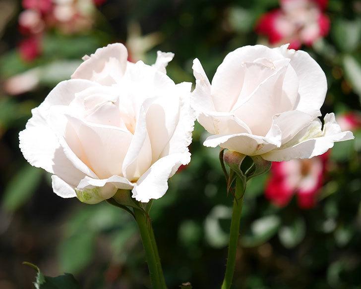 マーガレット・メリル(木立バラ)の花がまた咲いた。2019年-6.jpg