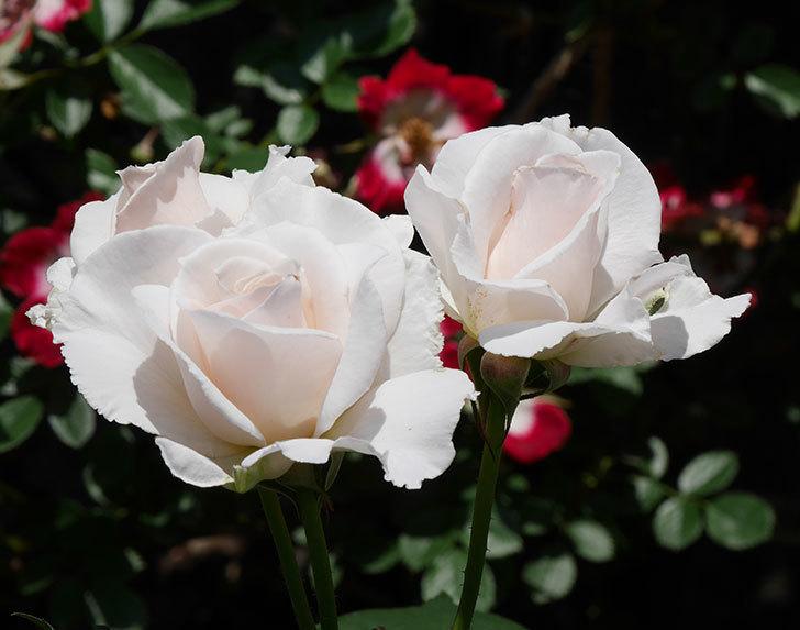 マーガレット・メリル(木立バラ)の花がまた咲いた。2019年-7.jpg