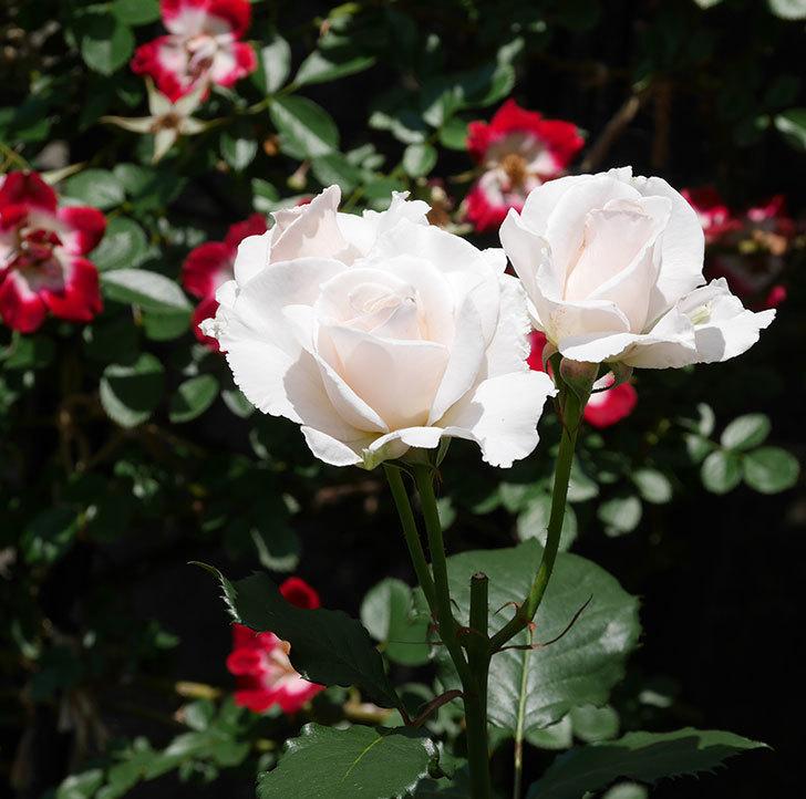 マーガレット・メリル(木立バラ)の花がまた咲いた。2019年-8.jpg