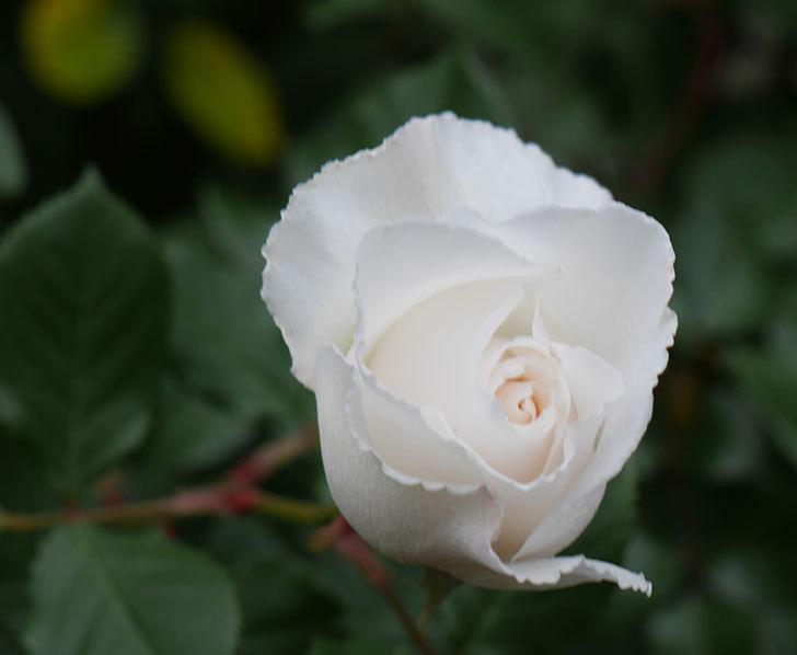 マーガレット・メリル(木立バラ)の花が咲いた。2019年-1.jpg