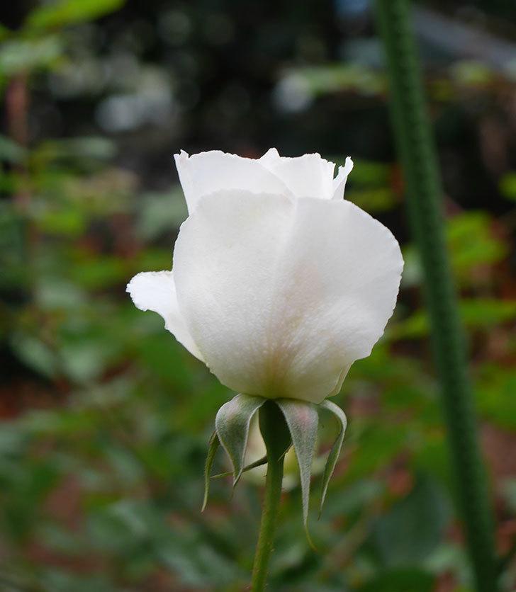 マーガレット・メリル(木立バラ)の花が咲いた。2019年-2.jpg