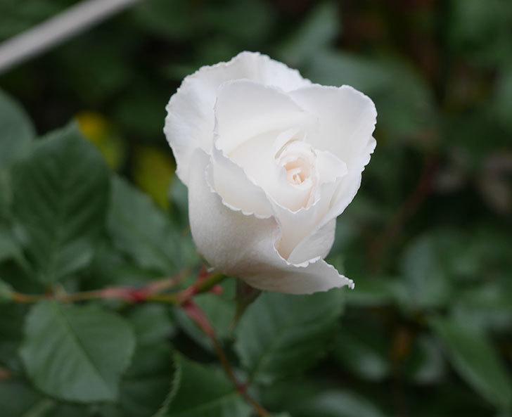 マーガレット・メリル(木立バラ)の花が咲いた。2019年-3.jpg