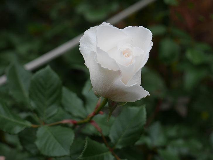 マーガレット・メリル(木立バラ)の花が咲いた。2019年-4.jpg