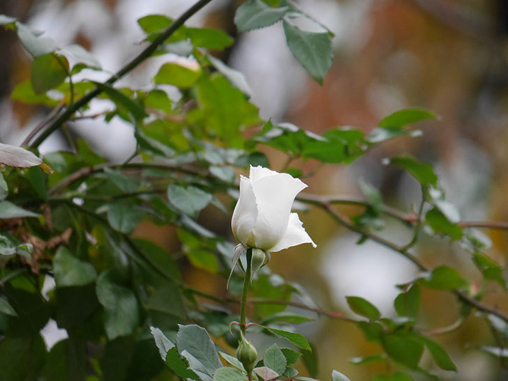 マーガレット・メリル(木立バラ)の花が咲いた。2019年-5.jpg