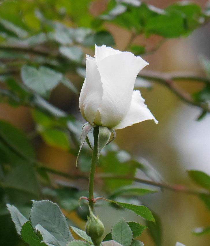 マーガレット・メリル(木立バラ)の花が咲いた。2019年-6.jpg