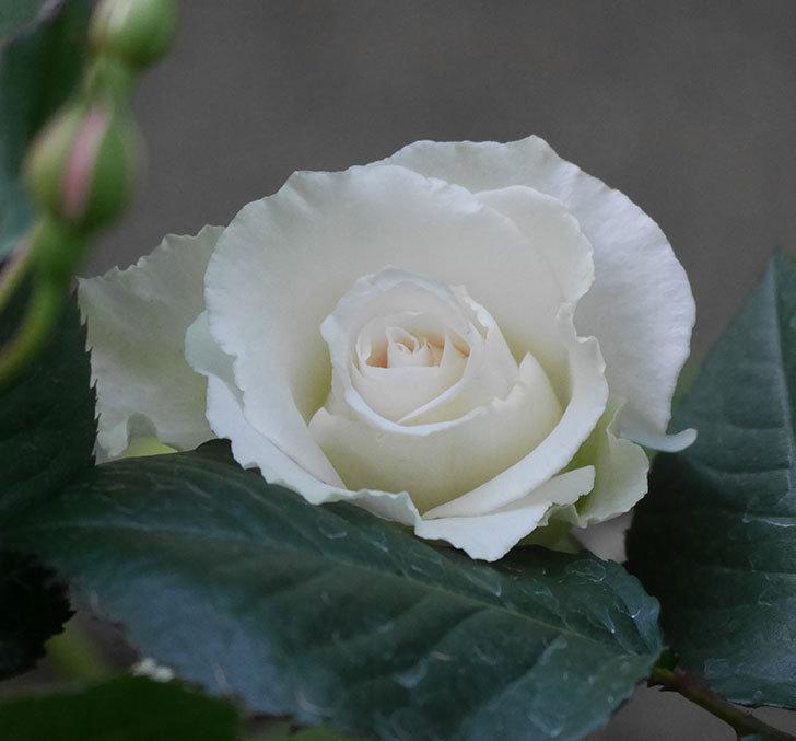 マーガレット・メリル(木立バラ)の花が咲きだした。2020年-1.jpg