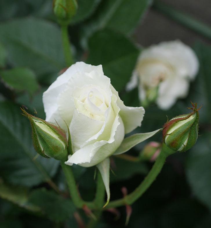 マーガレット・メリル(木立バラ)の花が咲きだした。2020年-10.jpg
