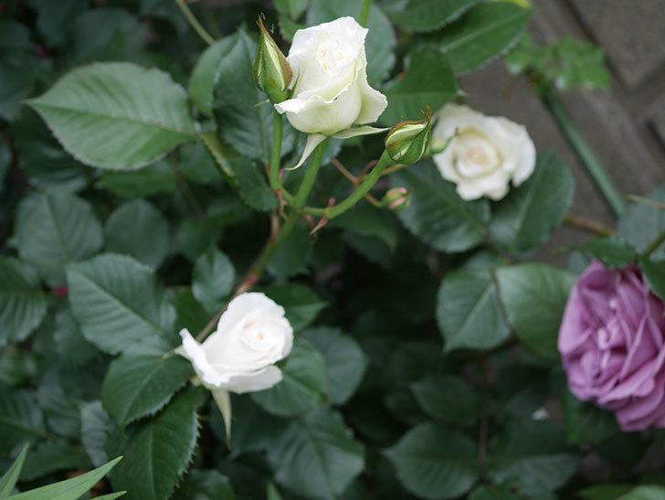 マーガレット・メリル(木立バラ)の花が咲きだした。2020年-11.jpg