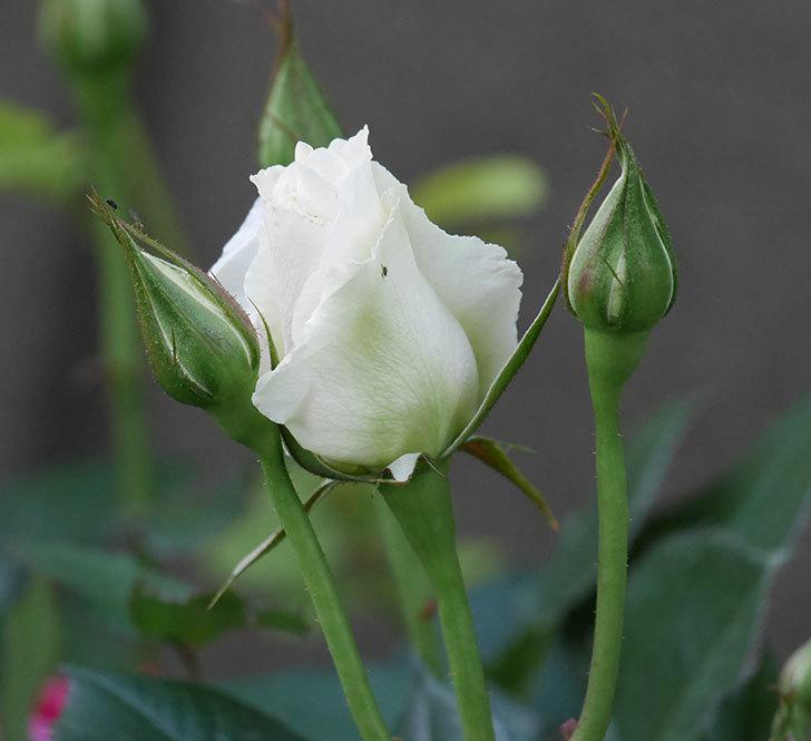 マーガレット・メリル(木立バラ)の花が咲きだした。2020年-3.jpg