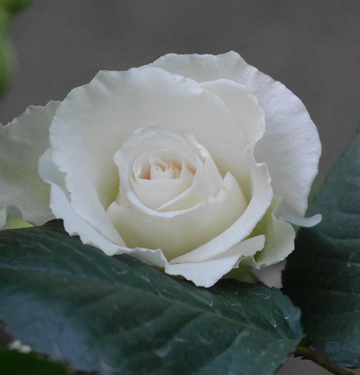 マーガレット・メリル(木立バラ)の花が咲きだした。2020年-4.jpg