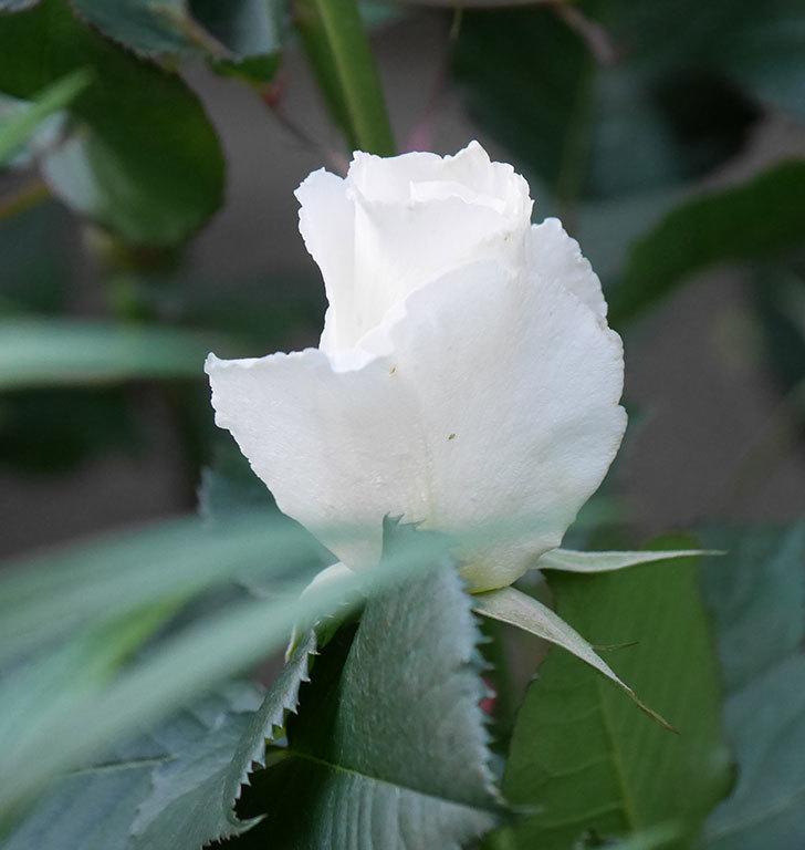 マーガレット・メリル(木立バラ)の花が咲きだした。2020年-5.jpg