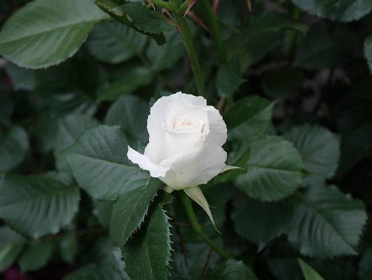 マーガレット・メリル(木立バラ)の花が咲きだした。2020年-7.jpg