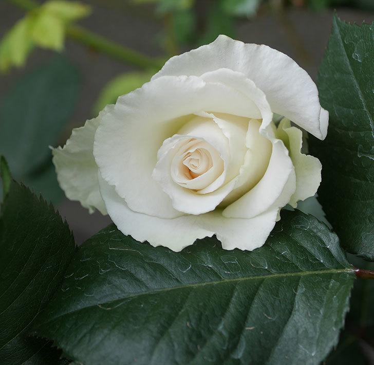 マーガレット・メリル(木立バラ)の花が咲きだした。2020年-8.jpg