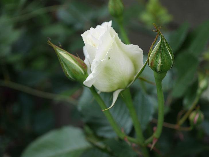 マーガレット・メリル(木立バラ)の花が咲きだした。2020年-9.jpg