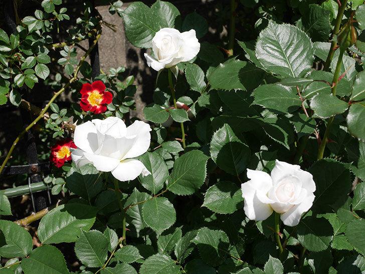 マーガレット・メリル(木立バラ)の花が増えて来た。2019年-1.jpg