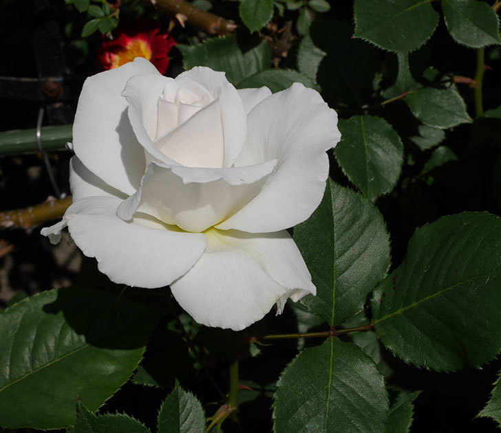 マーガレット・メリル(木立バラ)の花が増えて来た。2019年-3.jpg