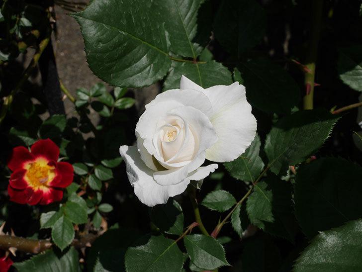 マーガレット・メリル(木立バラ)の花が増えて来た。2019年-4.jpg