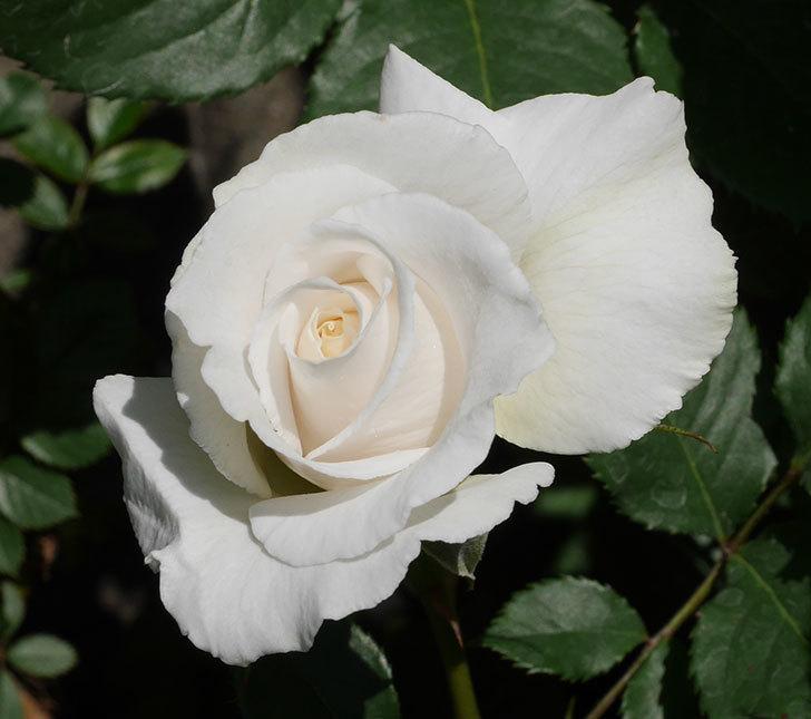 マーガレット・メリル(木立バラ)の花が増えて来た。2019年-5.jpg